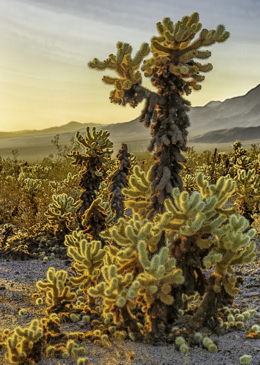 cholla-garden-at-sunrise