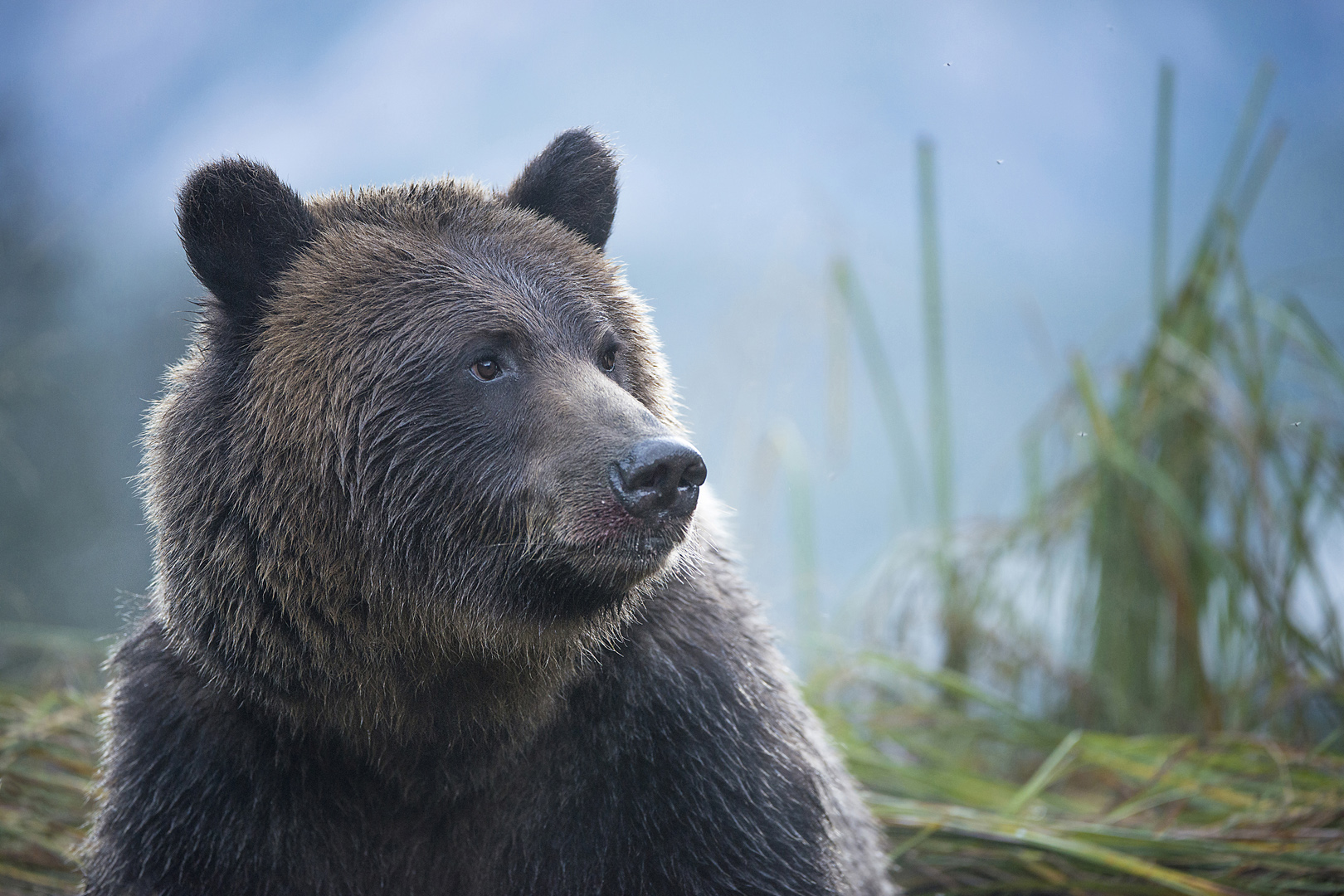 grizzly in the great bear rainforest in CPAWS Capture the Wild Photo Contest