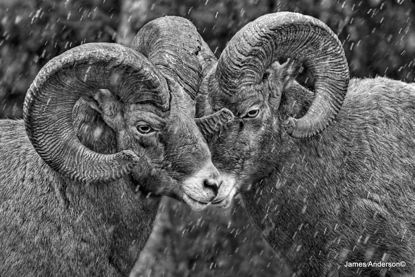 rebel rams in CPAWS Capture Whe Wild Photo Contest